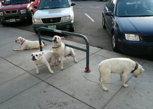 Four white dogs in Old Town Fort Collins.