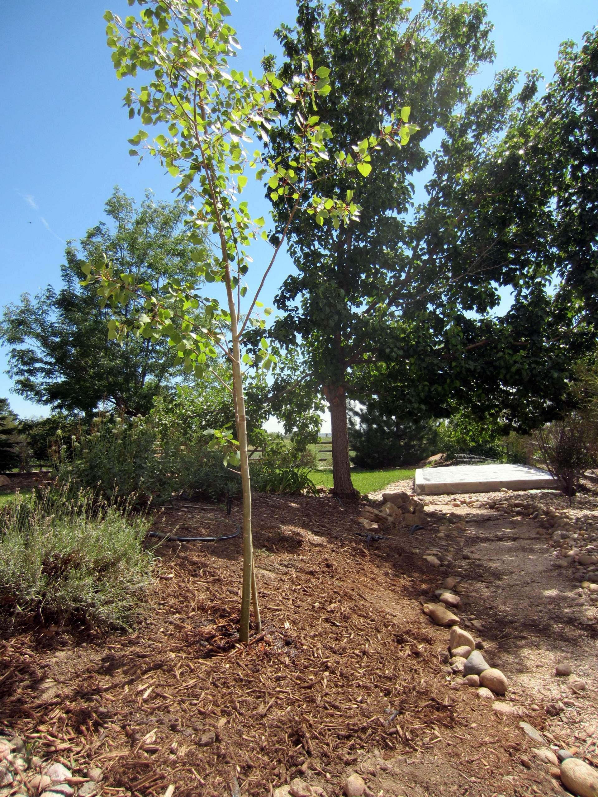 Newly planted aspen tree.