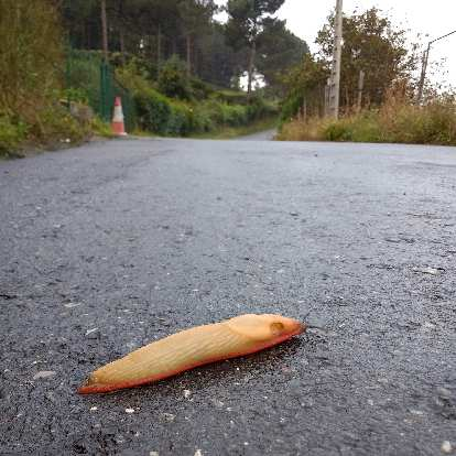 A banana slug on the Camino de Santiago east of Bilbao, Spain.