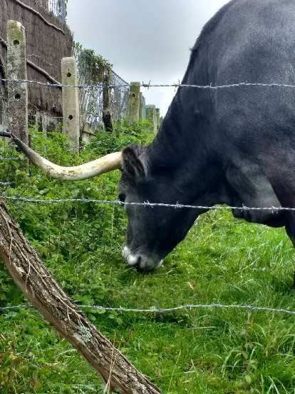A black cow with horns in San Vicente de la Barquera.