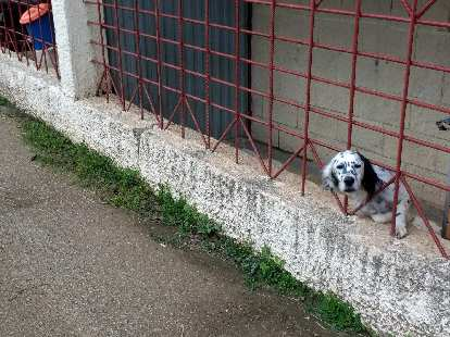 A dog poking its head through red bars in Colunga, Spain.