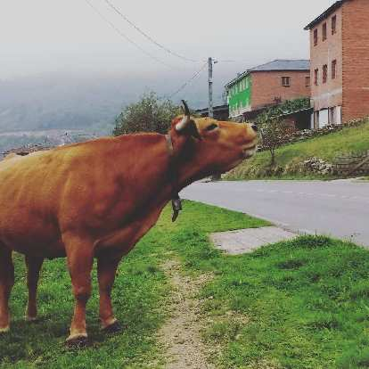 "A ""kissing cow"" in Porciles, Spain."