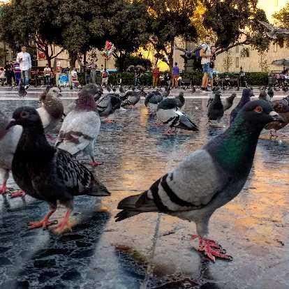 Pigeons at Plaça Catalunya in Barcelona, Spain.