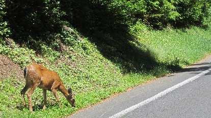 deer on road to Astoria Column