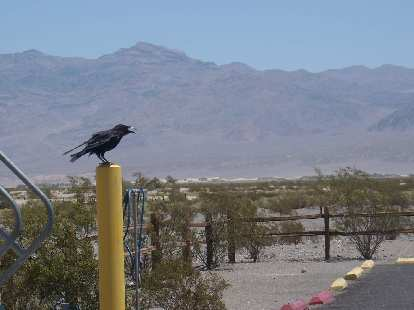 One of the many crows at Stovepipe Wells.