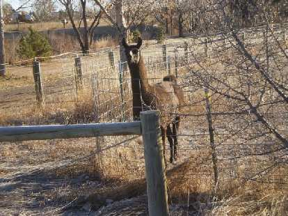 An alpaca on a farm one mile from where I live.