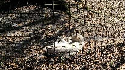 Tonga, a white serval.