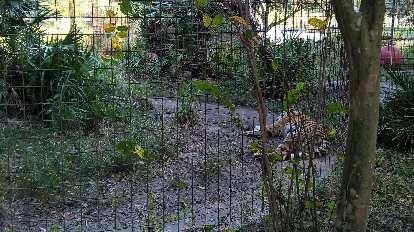 Jasmine the tiger.