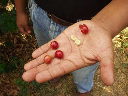 After they are picked, each coffee bean is squeezed to yield two coffee bean halves.