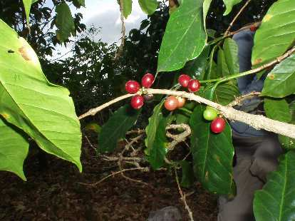 To preserve the tree for the next growing season, it is best to twist the beans off of the tree.  Hence, Cafe Ruiz only employs hand-picking (instead of a machine) for its beans.