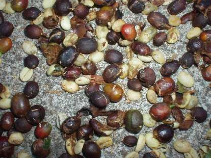 """Close-up of the """"floater"""" beans.  They are dubbed floaters because they float rather than sink, often because they had been invaded/partly eaten by insects."""