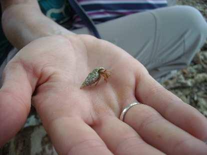 A hermit crab.
