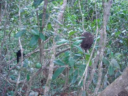 A howler monkey near a termite nest.