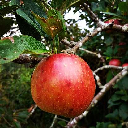 The region of Asturias, Spain is well known for sidra (cider) due to all of the apples here.  I could literally reach up and grab one to eat in many parts of the Camino de Santiago.