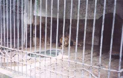 Lion... roar...