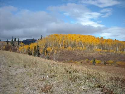 Pretty aspens 10 miles from Steamboat Springs.