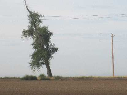 [Day 1, Mile 27, 7:45 a.m.] A very slanted tree off Colorado Blvd.