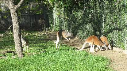 Kangaroos at the Denver Zoo.