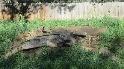 Leopard at the Denver Zoo.