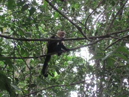 Monkey at Parque Nacional Cahuita.