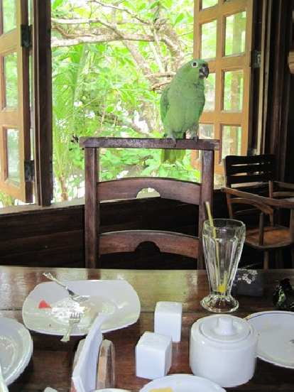 Verde, the multilingual parrot at breakfast in Cahuita.
