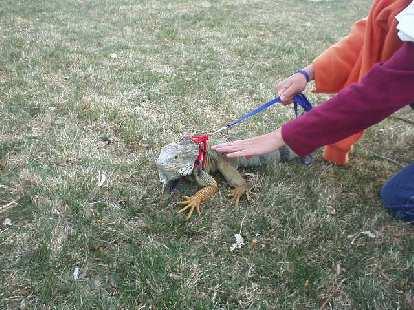 Ryan doesn't have a dog, so she brought her 4'-long iguana!  The iguana got plenty of attention.