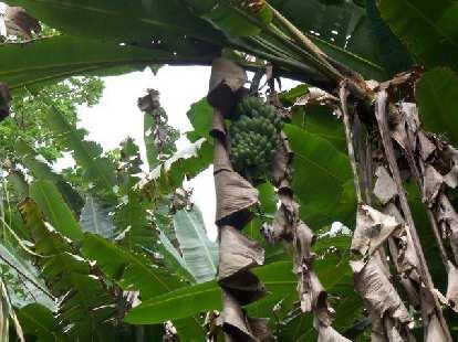 Bananas on a banana plantation.