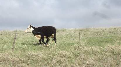 happy black and white cow in eastern Colorado