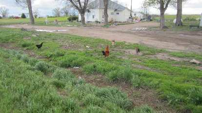 hens, white house, Ault, CO