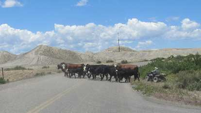 [Mile 107, 12:22 p.m.] Big bovine blockage in Delta, Colorado.