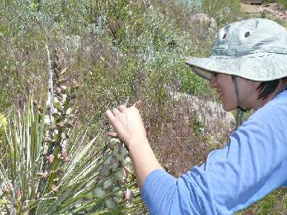 Sarah inspects a yucca plant.
