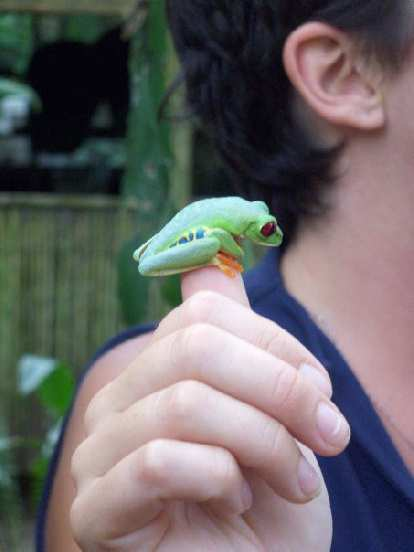 A red-eyed tree frog.
