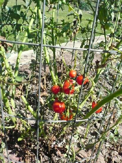 Some cherry tomato plants also produced tomatoes.