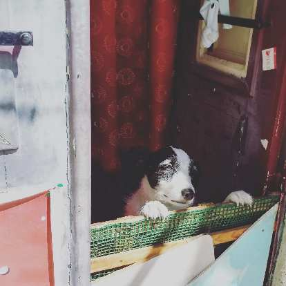 A happy looking black and white dog in front of a red curtain peering over a makeshift gate in a home in Alfama, Lisbon, Portugal.