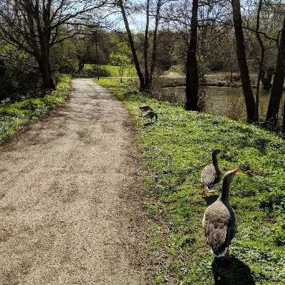 Geese at Riverside Garden Park, which is located very close to the Gatwick Airport and makes for a leisurely walk if staying in a hotel nearby.