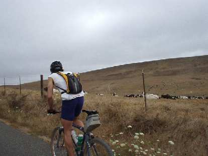 [Mile 44, 9:40 a.m.] Everitt was the man of the day!  Despite riding 118 miles at an intense pace during yesterday's Santa Cruz Mountain Challenge, he did today's 200k ride on his Cannondale mountain bike!  Here we are passing numerous cows.