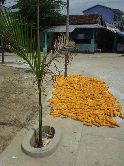 Corn in Kim Bong.