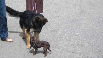 big furry black dog meets small brown dog