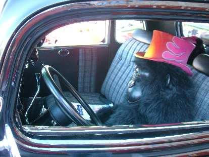 A gorilla in the driver's seat.