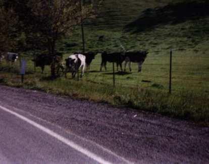 four black cows and a white cow off Calaveras Rd.