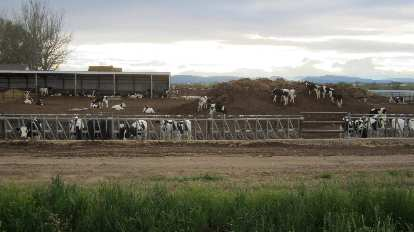cow farm near Windsor, Colorado