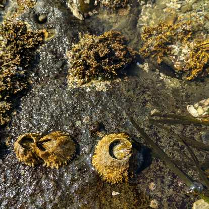 Barnacles at Salt Creek County Park.