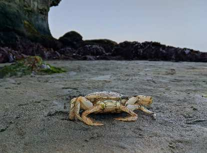 A crab at at Salt Creek County Park.