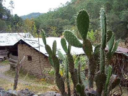 Cacti in front of a house.