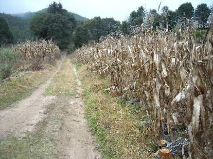 Fields de maiz (corn).