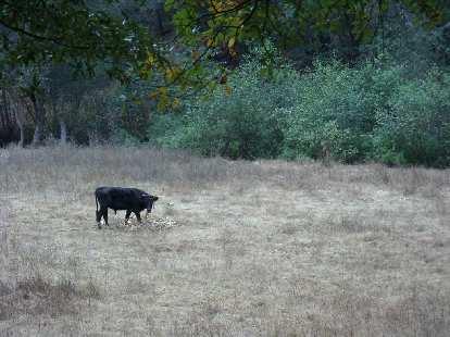 Toro (bull).
