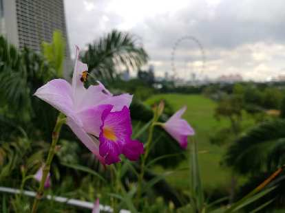 A purple flower with the Singapore Flyer---at one time the world's largest Ferris Wheel---in the background.
