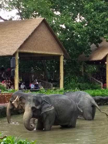 Elephants at the Singapore Zoo.