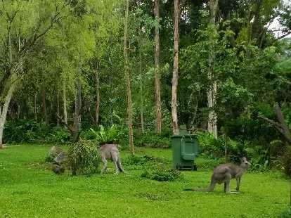 Kangaroos at the Singapore Zoo.