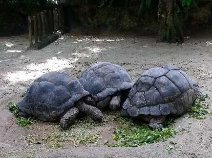 Three giant tortoises at the Singapore Zoo.